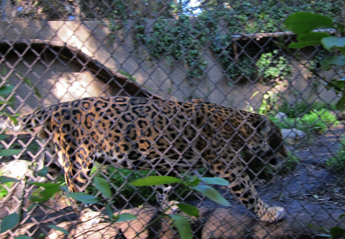 Leopard Behind Bars