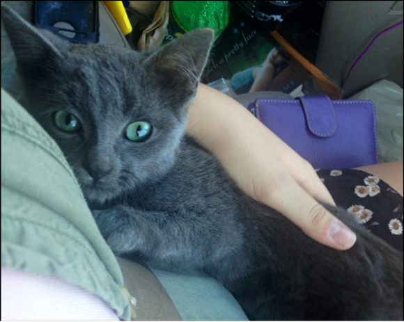 Kiwi the grey kitten stray