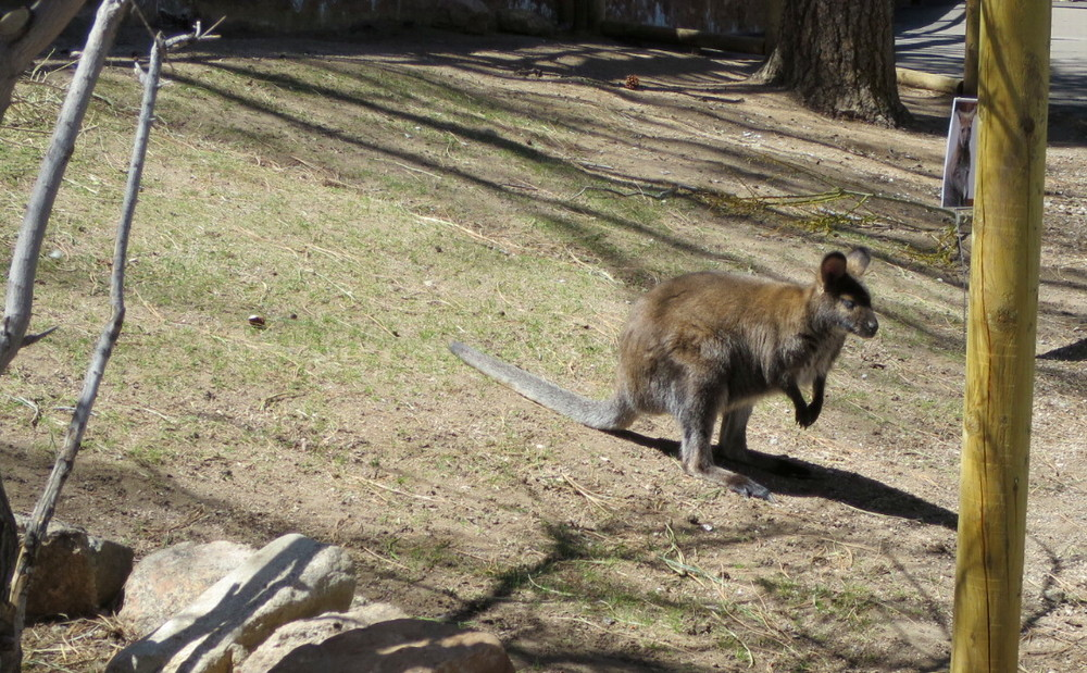 wallaby, cheyenne mountain zoo