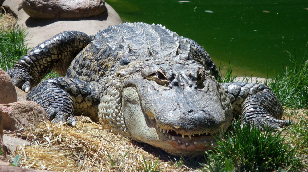 alligator, cheyenne mountain zoo
