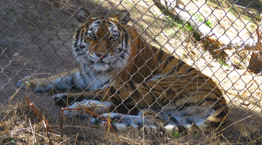 tiger, cheyenne mountain zoo, colorado springs
