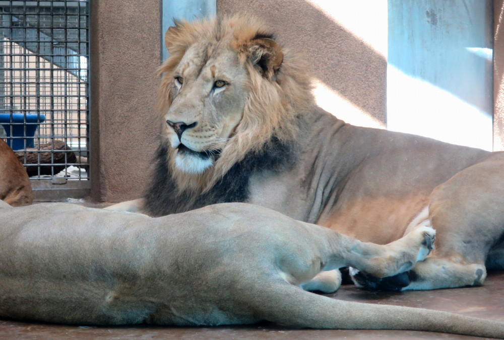 lions, cheyenne mountain zoo, colorado springs