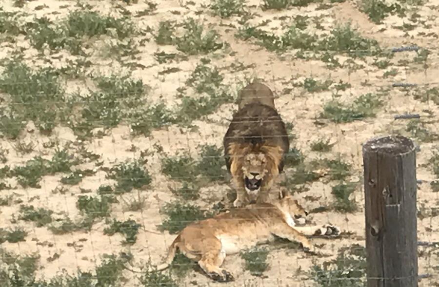 lions roaring, wild animal sanctuary