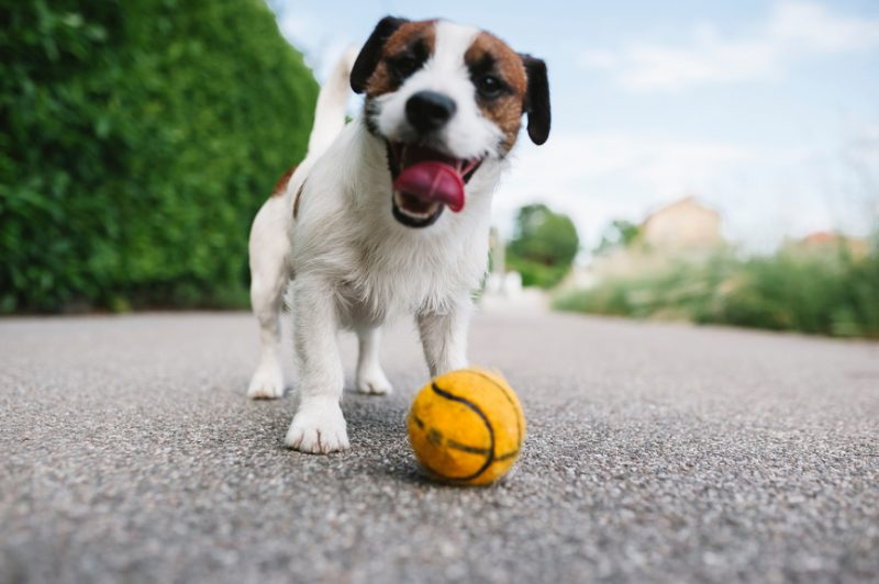 puppy play ball
